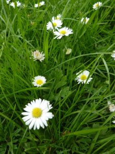 Bellis perennis or our common Daisy is most welcomein any lawn!