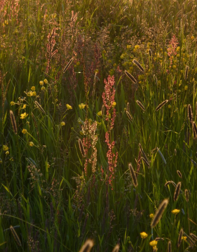 common sorrel with buttercups and meadow foxtail form a magic picture in early summer!