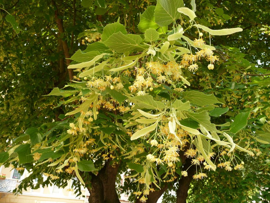 This image has an empty alt attribute; its file name is 1280px-Tilia_platyphyllos_02.jpg