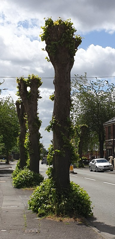 Pollarded lime trees on a busy road in Dudley.