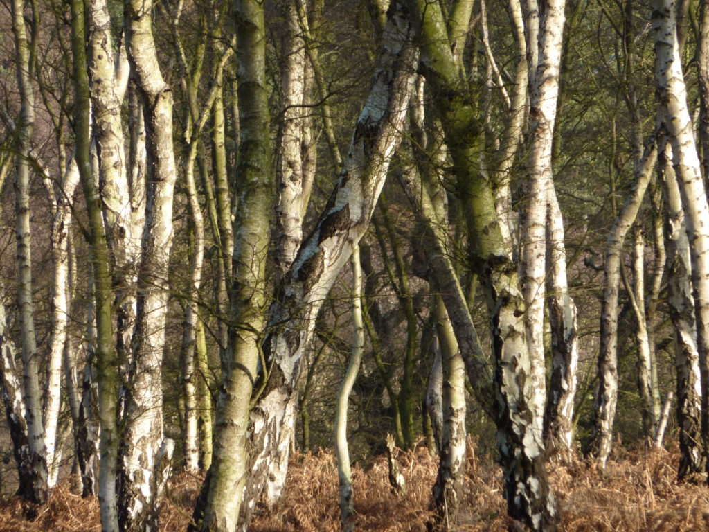 Showing the very recognizable stems of our native Silver Birch.