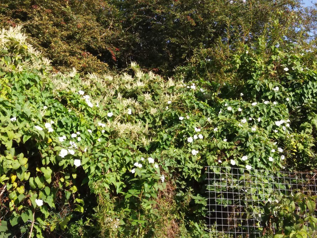 Japanese knotweed and native bindweed looking beautiful and innocent near my allotment boundary!