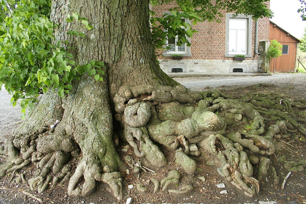 This image has an empty alt attribute; its file name is 1280px-Tilia_platyphyllos_-rootsFloree_JPG1R.jpg