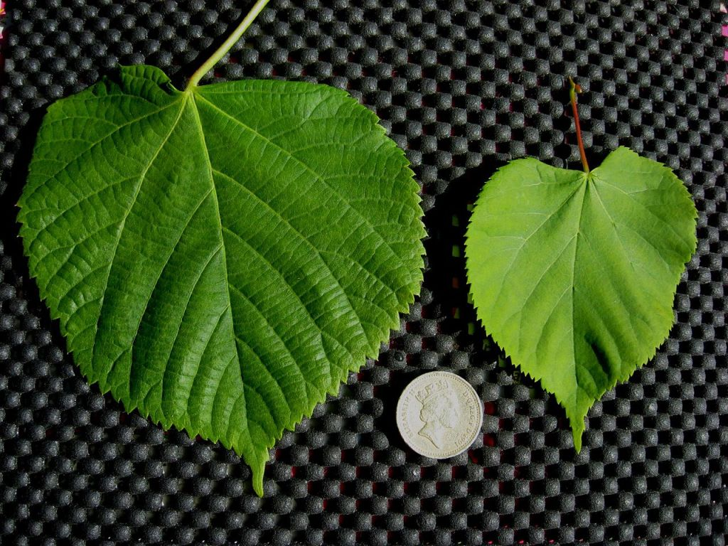 This image has an empty alt attribute; its file name is Tilia_platyphyllos_and_T._cordata_leaf_comparison-1.jpg